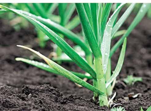 Яровой чеснок или озимый? Как их выращивать?