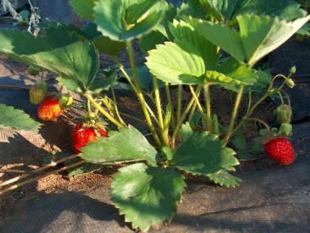 клубника на агроволкне