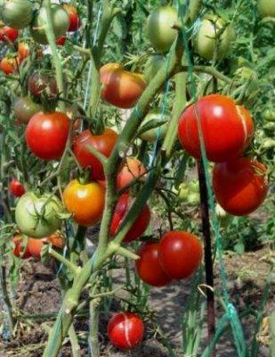 пасынкование помидоров