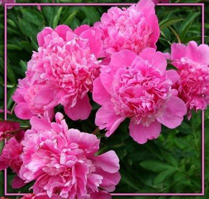 розовые пионы на фото