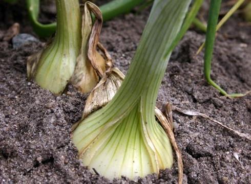 Как сажать лук с семенами