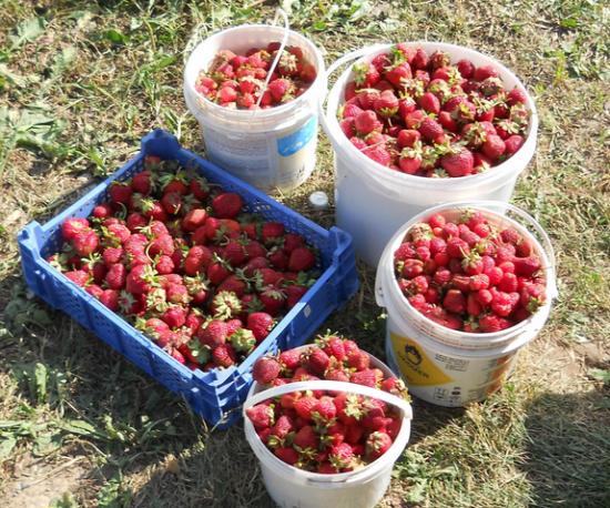 Отзывы о выращивании клубники