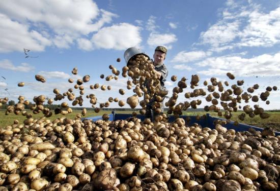 Химический состав картофеля и его пищевая ценность