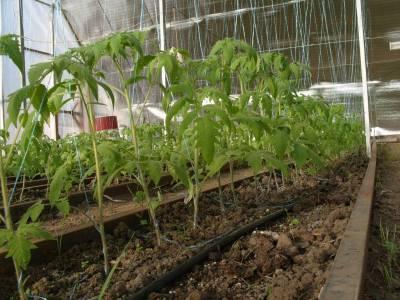посадка помидоров в теплице