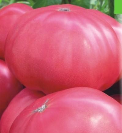 Томат розовый гигант и его выращивание