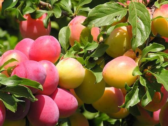 Посадка алычи и ее выращивание