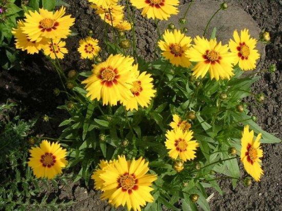 Кореопсис многолетний и его выращивание