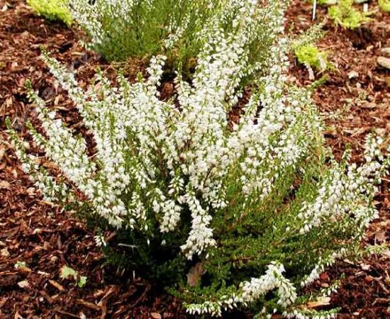 Белый вереск и его выращивание