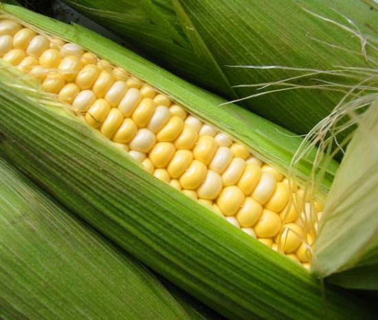 Кукуруза: выращивание и уход за ней на дачном участке