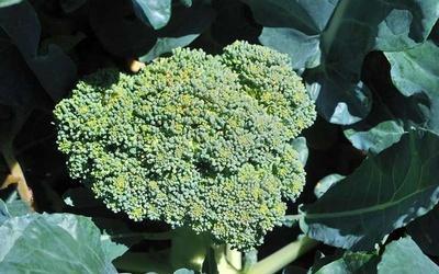 Каковы полезные свойства капусты брокколи?