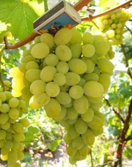 Морозостойкий сорт винограда