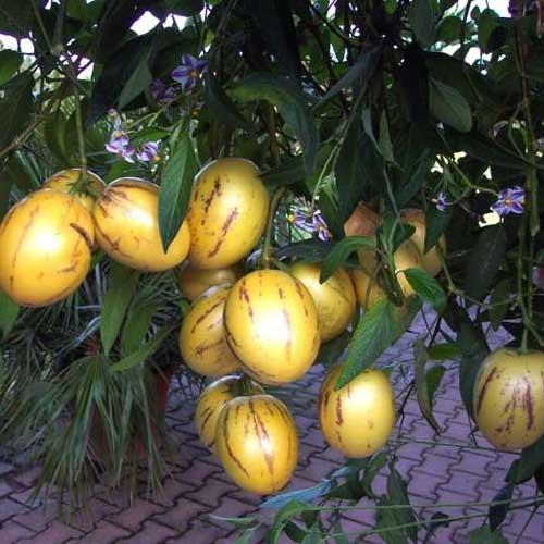 Пепино плоды на дереве