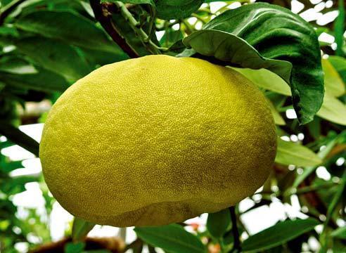 Помело плод