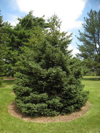 Ель дерево