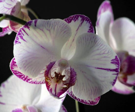 Цветы орхидеи во время цветения