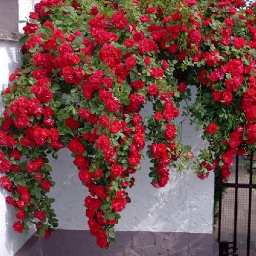 Роза плетистая алая