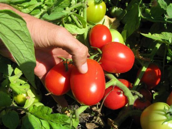 Плоды  детерминантного растения