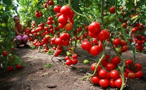 Плоды  детерминантного растения / томаты