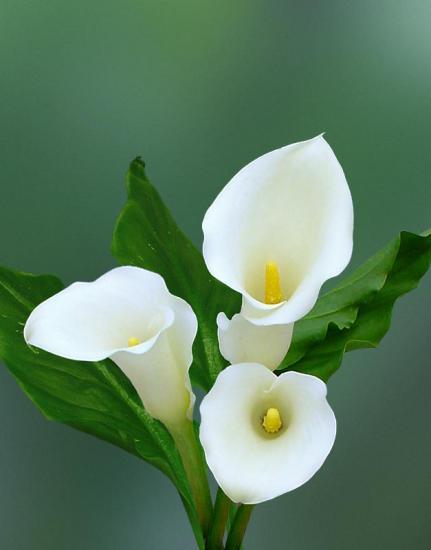 Калла цветет