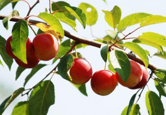 Плоды сливы генеральской