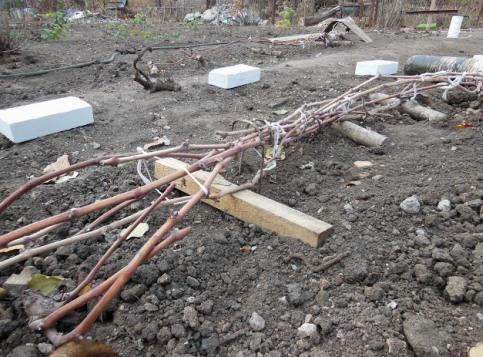 Подготовка винограда осенью