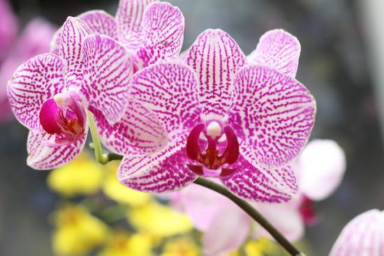 Орхидея из Вьетнама