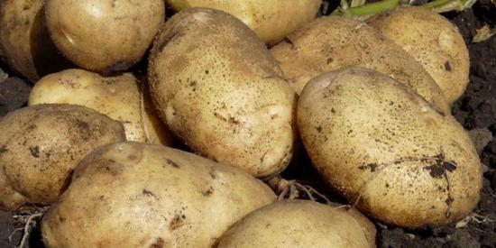 Ранний картофель для посадки