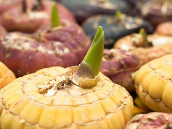 Гладиолусы луковица