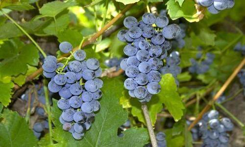 Зимостойкий виноград темный