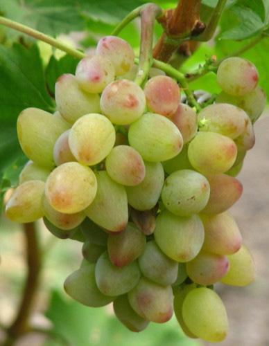 Зимостойкий виноград крупный