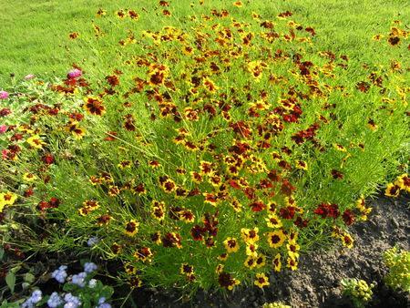 Кореопсис цветы