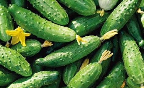 Огурцы самоопыляемые, урожай