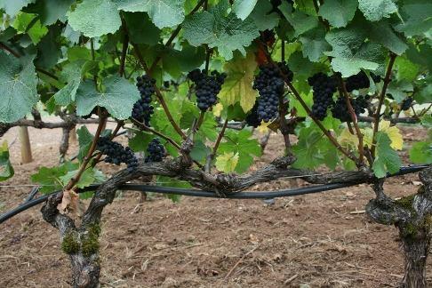 Виноград после обрезки