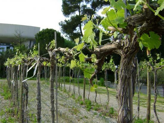 Виноград, правила обрезки
