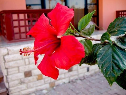 Цветет гибискус