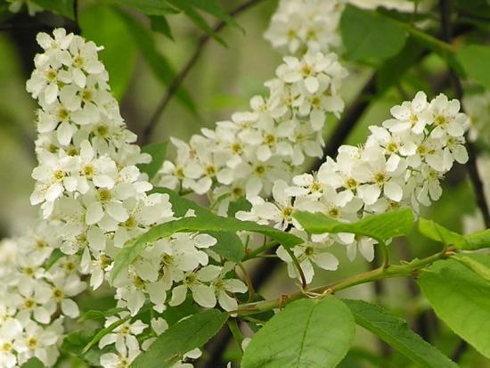 Черемуха цветки
