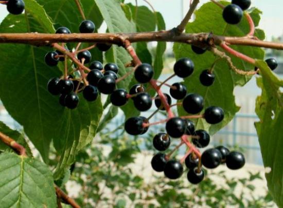 Черемуха ягоды
