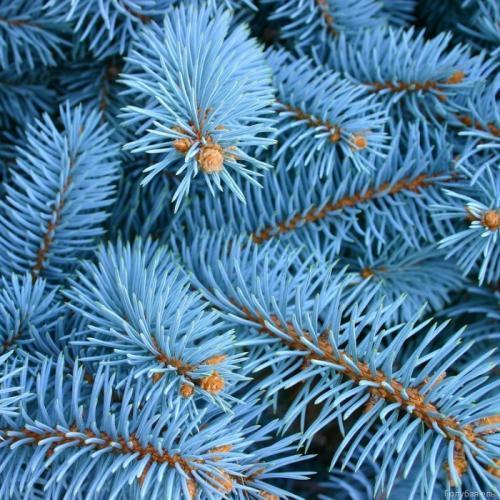 Голубая ель, дерево