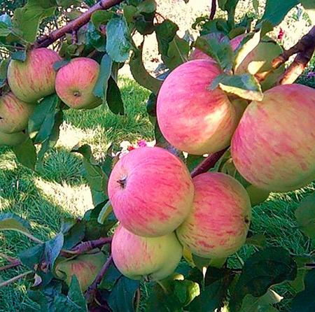 Спартак яблоко