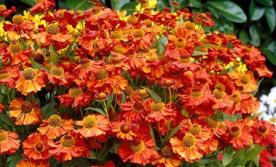 Цветок гелениум