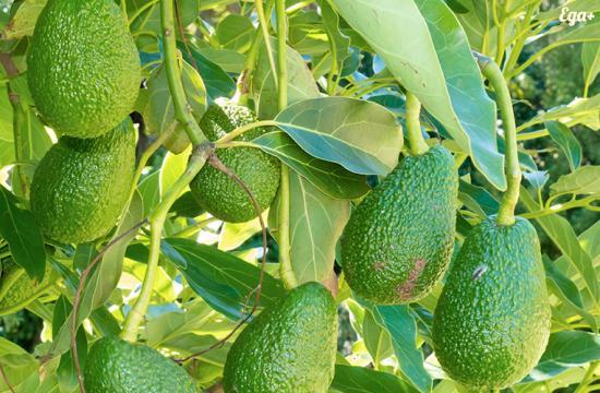 Авокадо на дереве