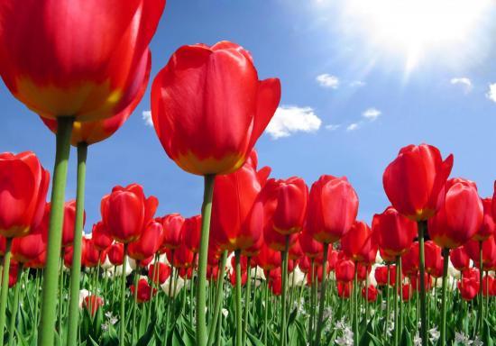 Тюльпаны из семенного материала