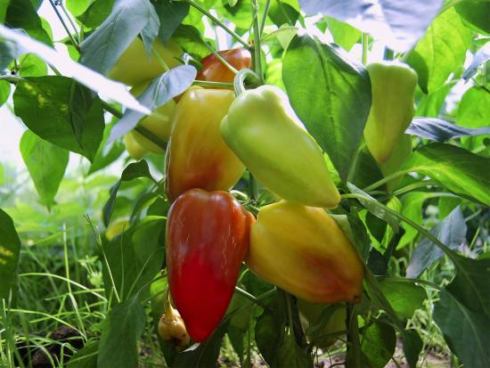 Плоды перца