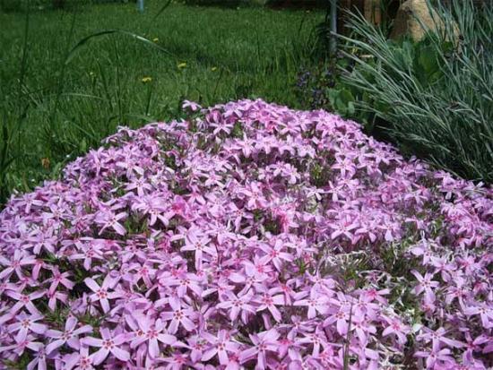 Многолетние низкорослые цветы