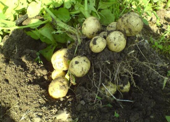 Урожай после использования сидератов