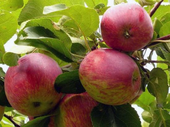 Садоводство яблонь