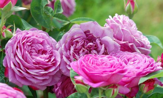 Роза Тантау