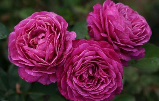 Тантау, роза