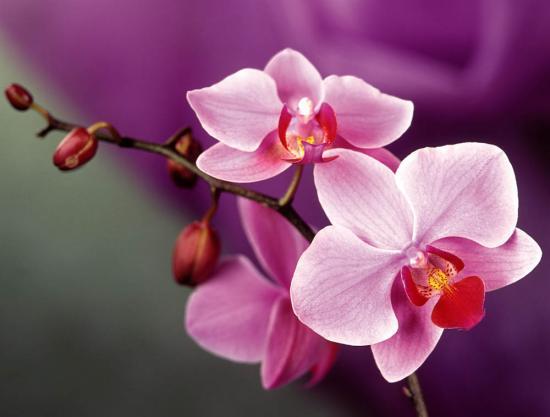 Орхидеи макро