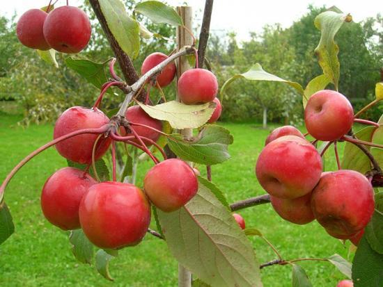Apple-tree